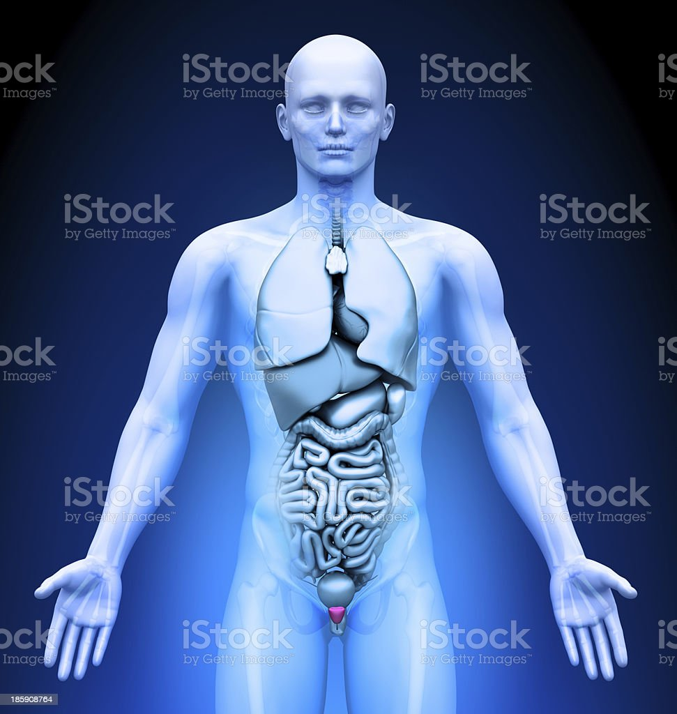 Medical Imaging Male Organs Prostate Stock Photo More Pictures Of