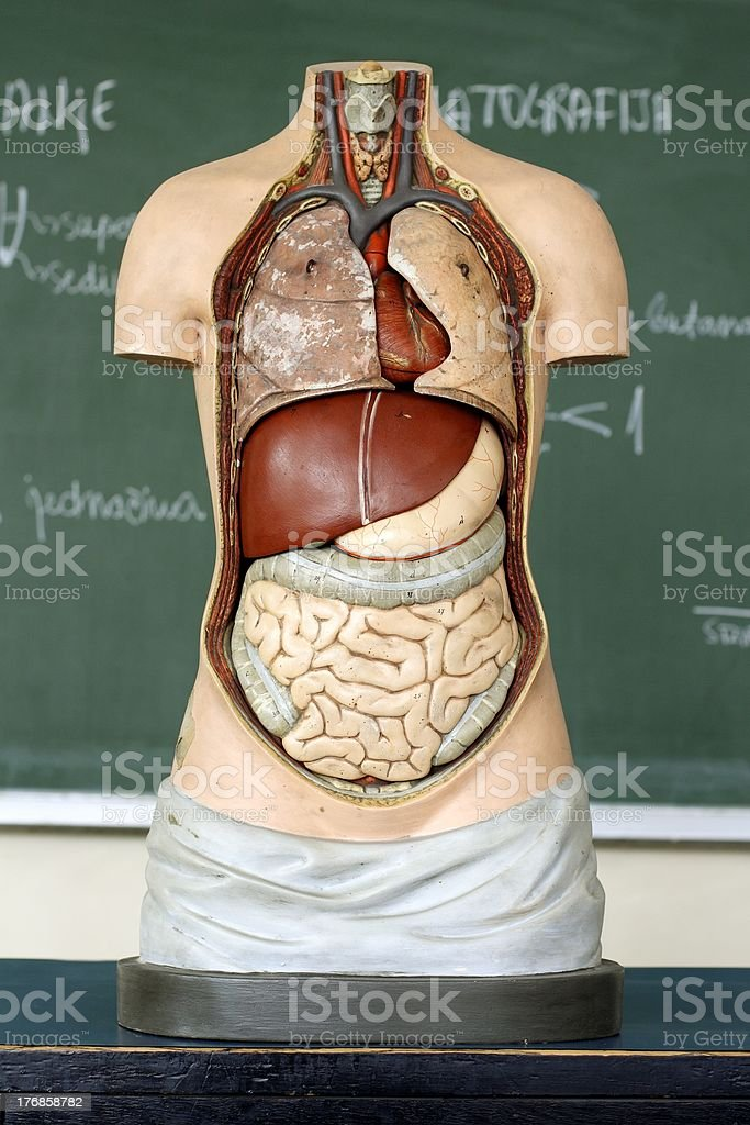 medical Mannequin royalty-free stock photo