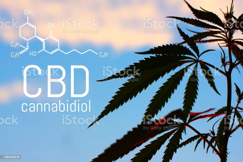 Medical Marijuana and Cannabidiol (CBD Oil) chemical formula. Growing premium cannabis products. Influence (positive and negative) of smoking marijuana on human brain, nervous system, mental activity and functions, cognitive functioning, development. Them stock photo