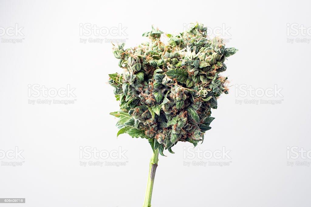 marijuana médicale papilles - Photo