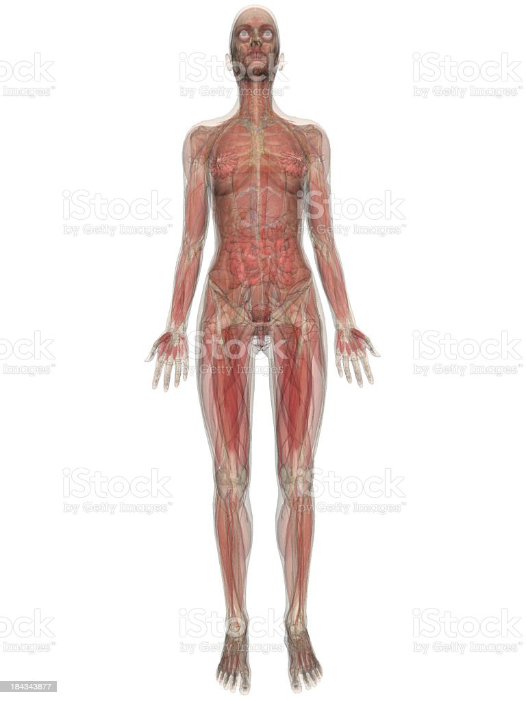 Medical model of the human body stock photo