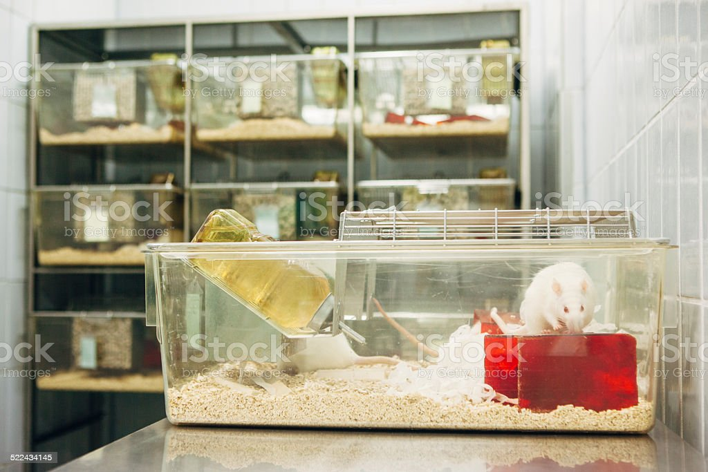 Medical Research: albino rats for animal experiments in plastic cage stock photo