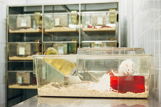 Medical Research: albino rats for animal experiments in plastic cage laboratory rats with red eyes in plastic cage animal testing stock pictures, royalty-free photos & images