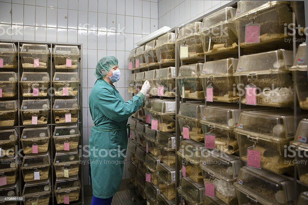 Medical Research: lab assistant between plastic cages with albino rats stock photo