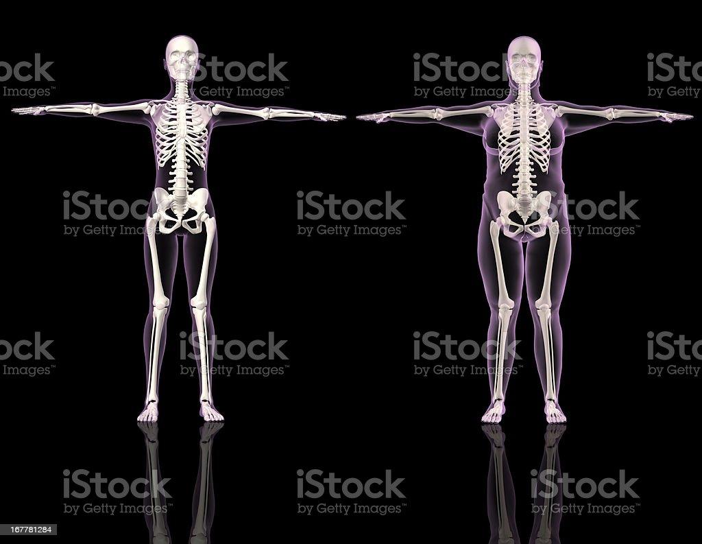 Medical skeletons stock photo