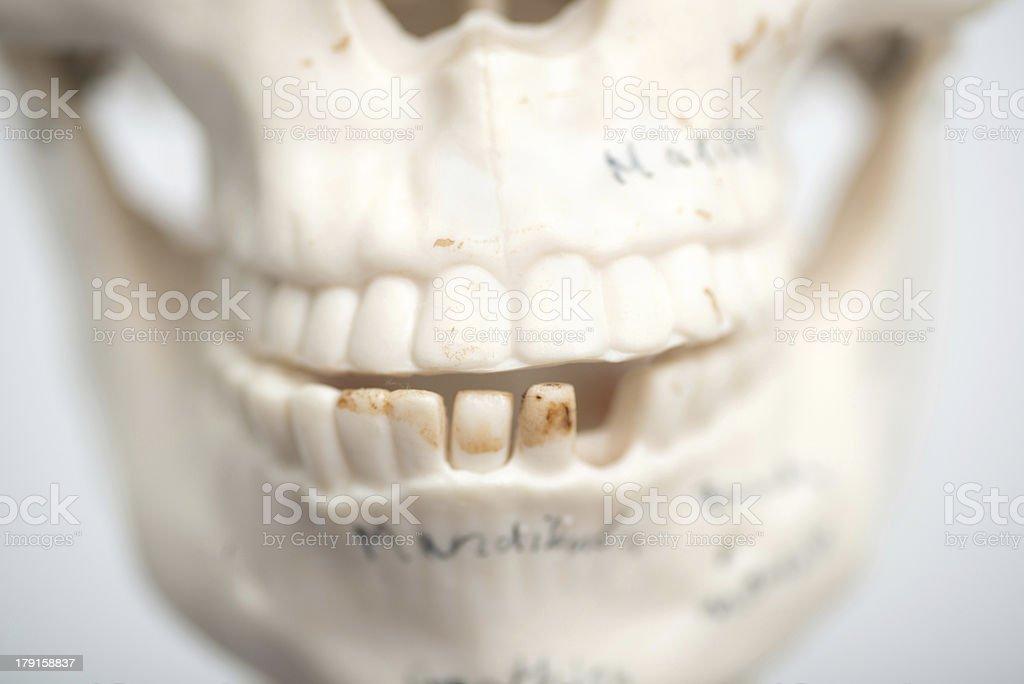 medical skull teeth royalty-free stock photo