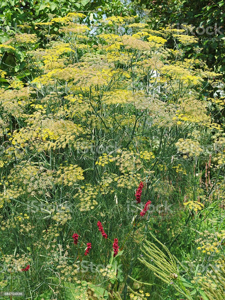 Medicinal and herbal plant - flowering Fennel (Foeniculum vulgare) stock photo