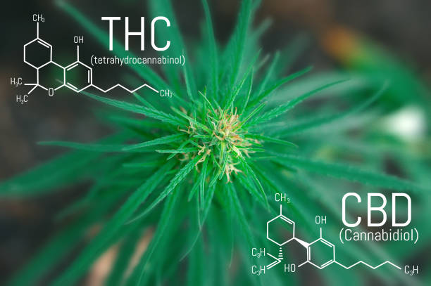 Medicinal cannabis with extract oil. Molecular structure medical chemistry formula hemp CBD - THC Medicinal cannabis with extract oil. Molecular structure medical chemistry formula hemp CBD - THC thc stock pictures, royalty-free photos & images