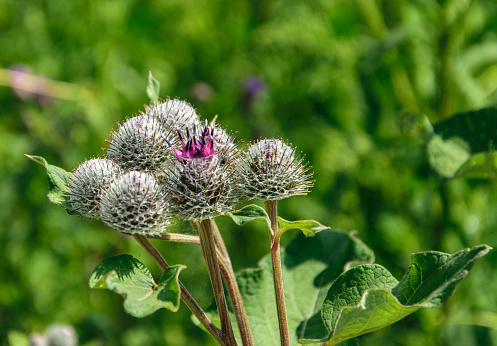 Medicinal herb burdock , blooming pink large burdock closeup on a green background.