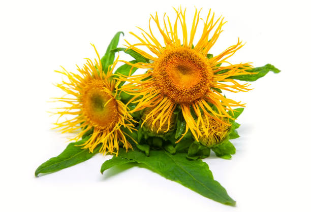 Medicinal herb elecampane (Inula) on white stock photo