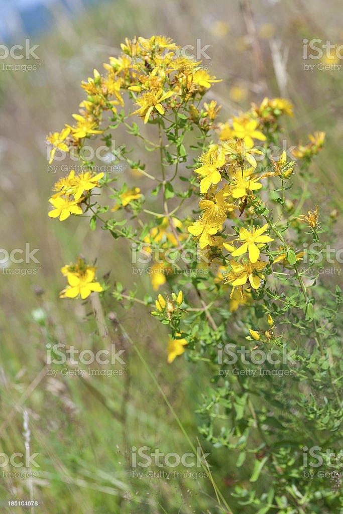 Medicinal Herb royalty-free stock photo