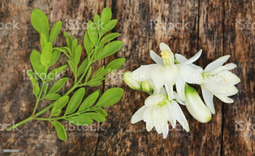 Medicinal moringa flower with green leaves stock photo