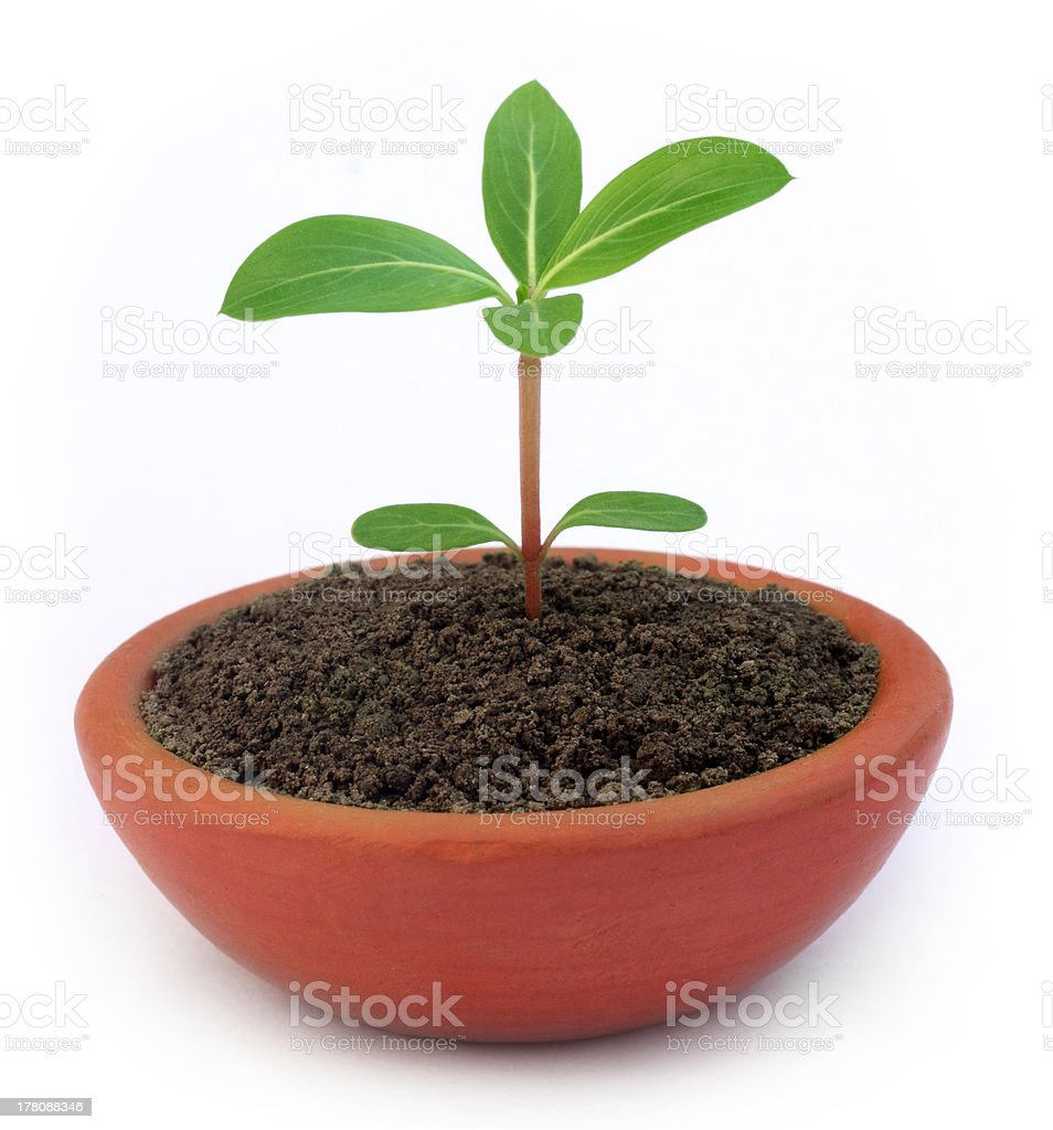 Medicinal Nayantara plant stock photo
