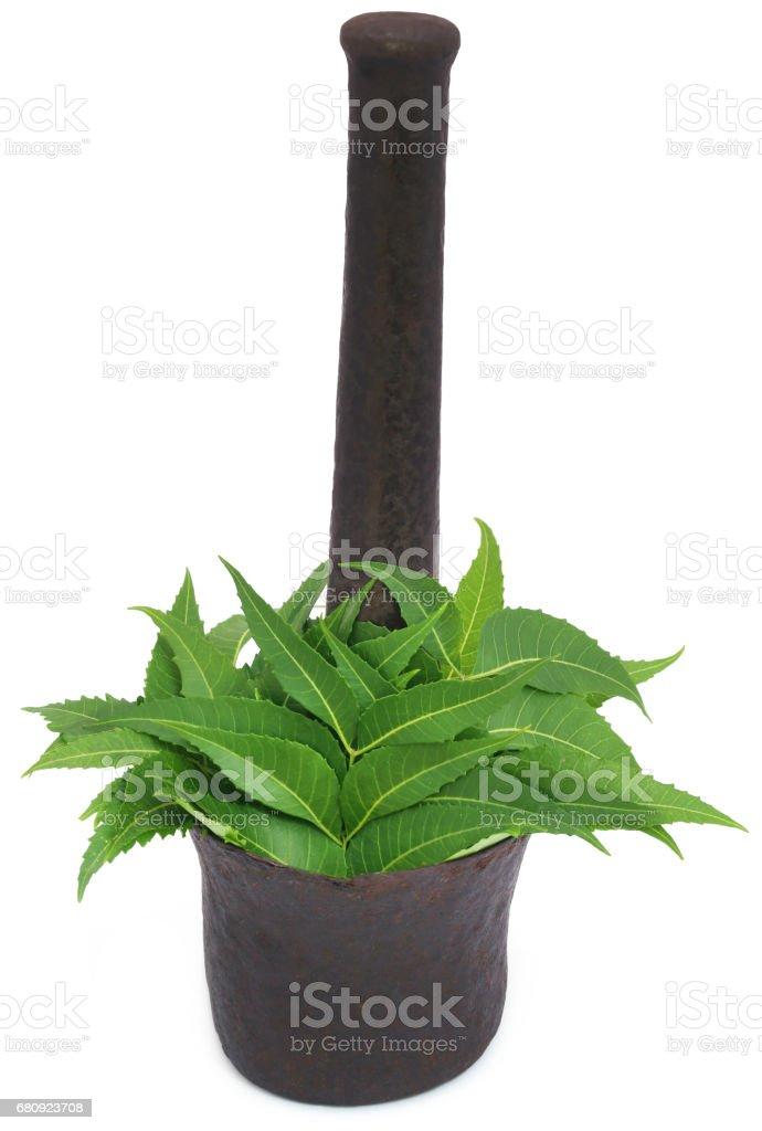 Medicinal neem leaves royalty-free stock photo