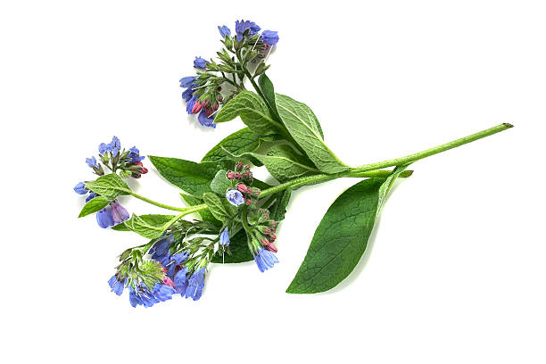 Medicinal plant comfrey on a white background stock photo