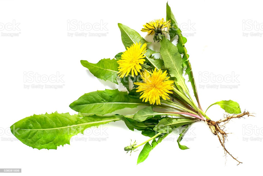 Medicinal plant dandelion on a white background stock photo