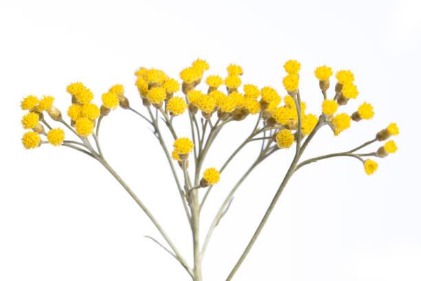 Heilpflanze aus meinem Garten: Helichrysum italicum (Currypflanze) Detail der gelben Blüten isoliert auf weißem Hintergrund Seitenansicht – Foto