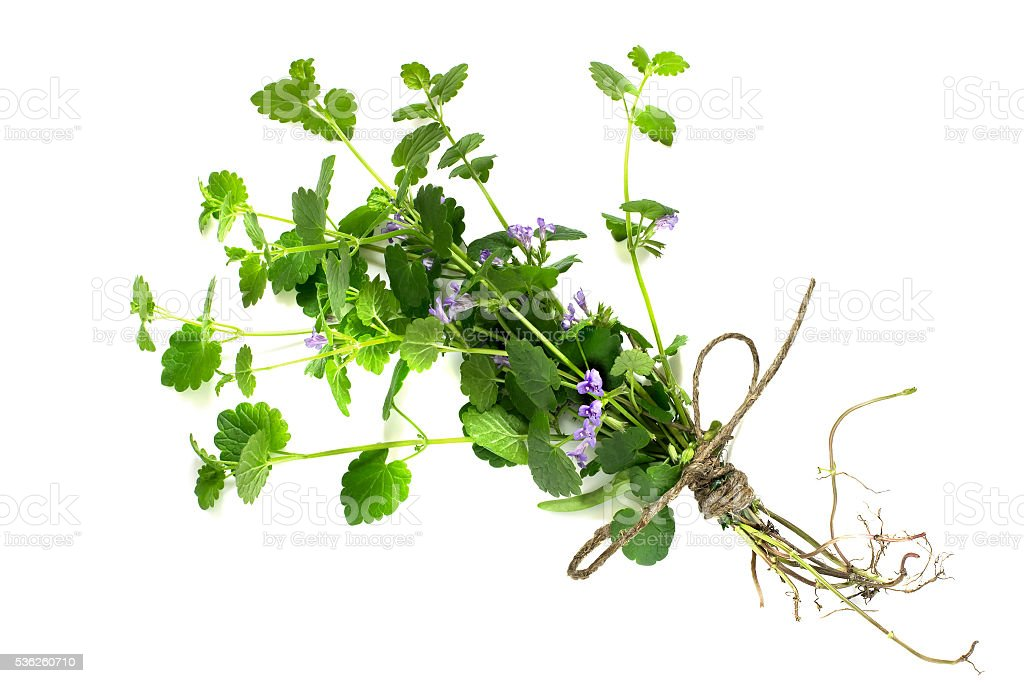 Medicinal plant Glechoma hederacea stock photo