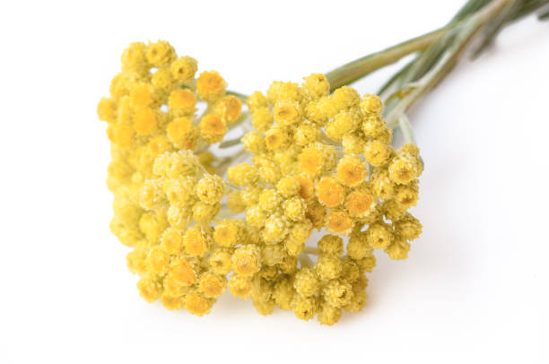 Medicinal plant helichrysum arenarium isolated on white background. Close up view stock photo