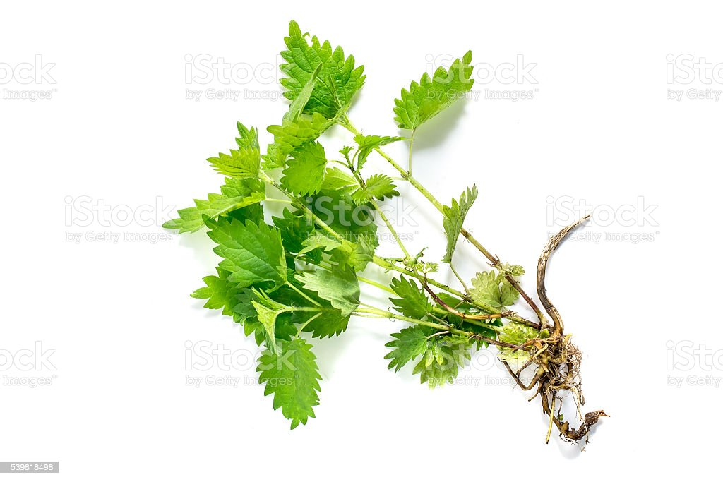 Medicinal plant nettle (Urtica dioica) Medicinal plant nettle (Urtica dioica) on white background. It is used in food preparation and production of fabrics Cooking Stock Photo