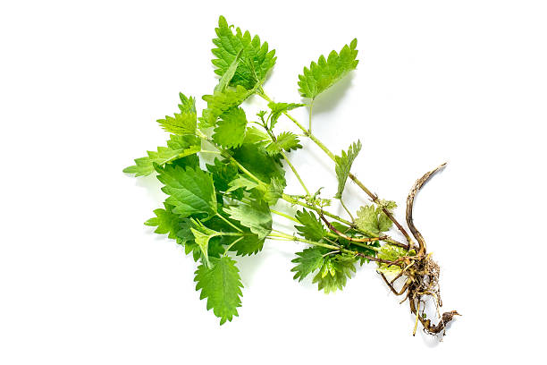 Medicinal plant nettle (Urtica dioica) Medicinal plant nettle (Urtica dioica) on white background. It is used in food preparation and production of fabrics antifebrile stock pictures, royalty-free photos & images
