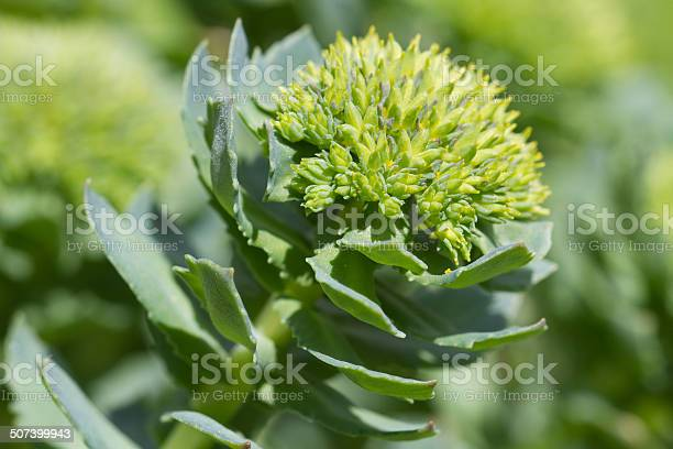 Medicinal Plant Rhodiola Rosea Closeup Stock Photo - Download Image Now