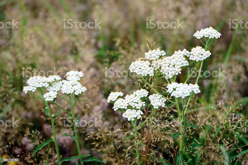 Medicinal plant Siberian Yarrow stock photo
