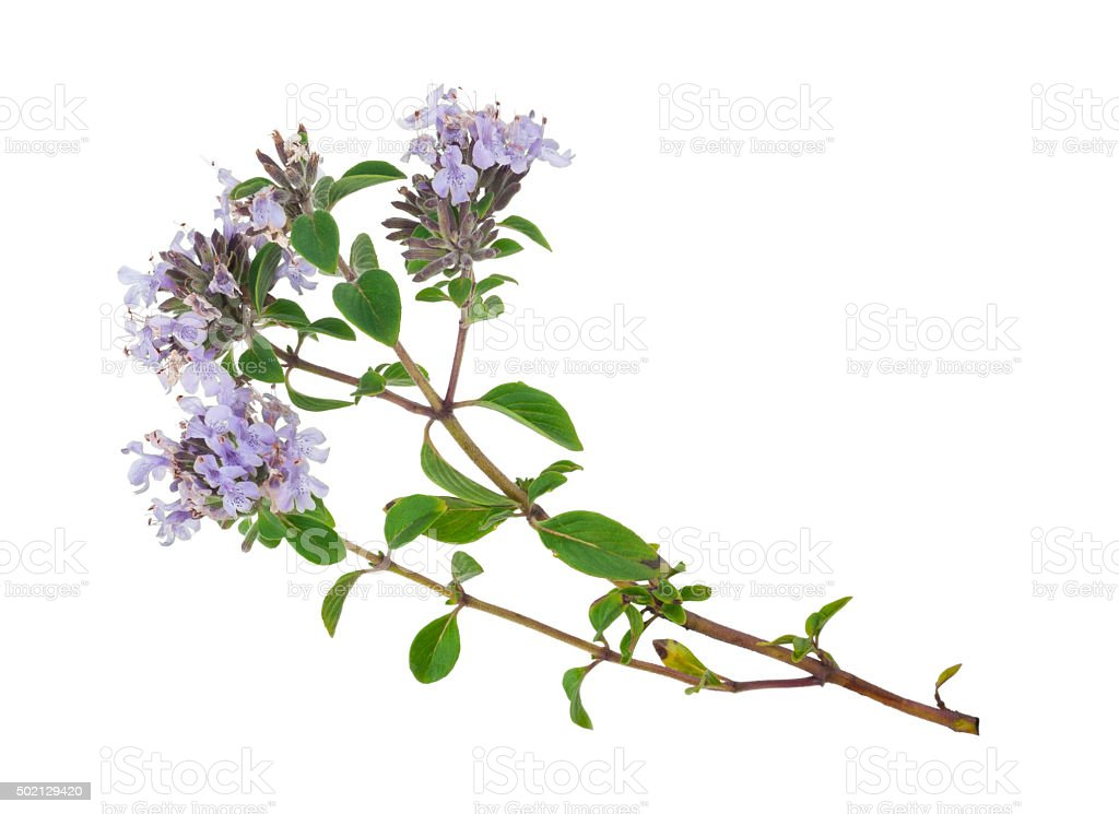 Medicinal plant: Thyme stock photo