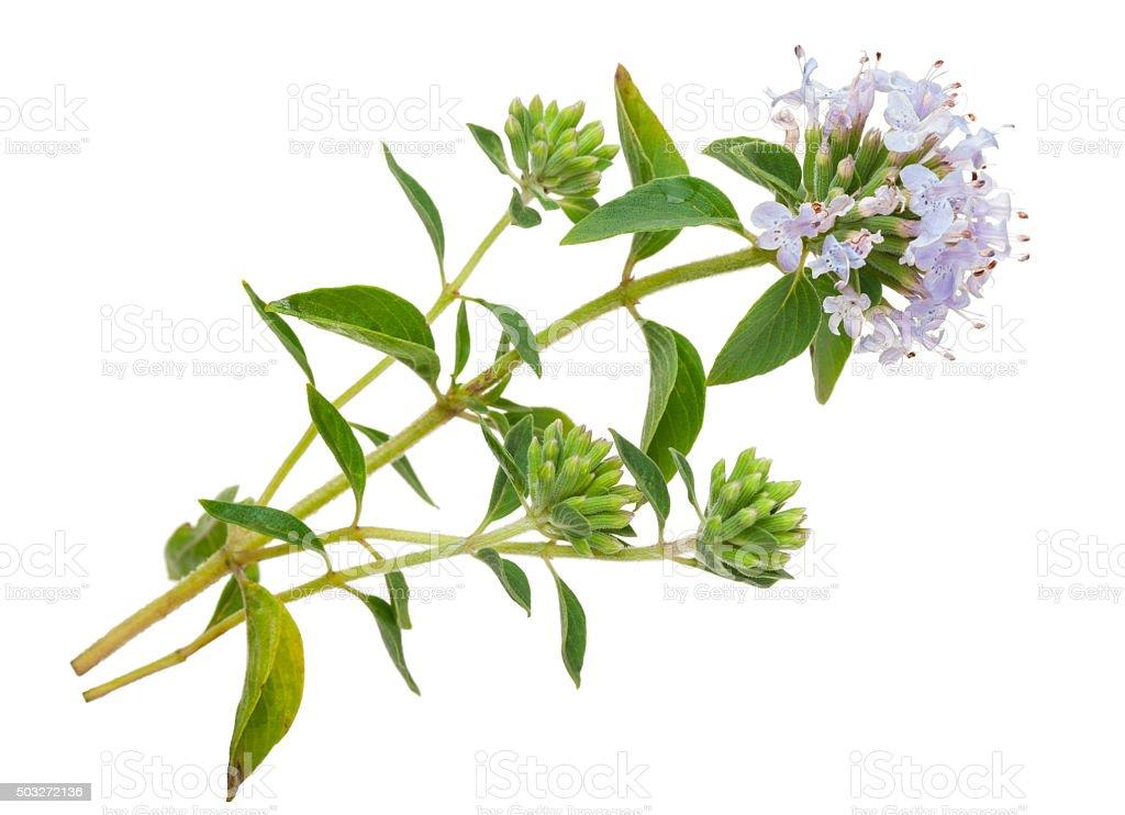 Medizinische plant: Thymian – Foto