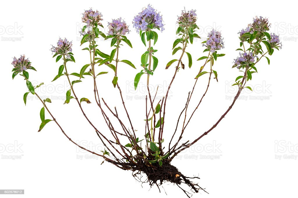 Medicinal plant: Thyme with root stock photo