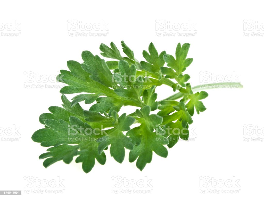 Medicinal plants. Sagebrush. Wormwood plant on a white background. stock photo