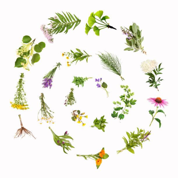 heilpflanzen-schnecke, spirale - weißer holunder stock-fotos und bilder