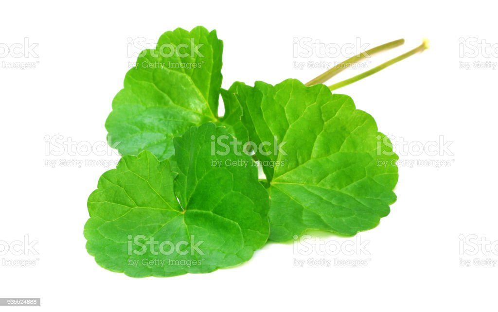 Medicinal thankuni leaves stock photo