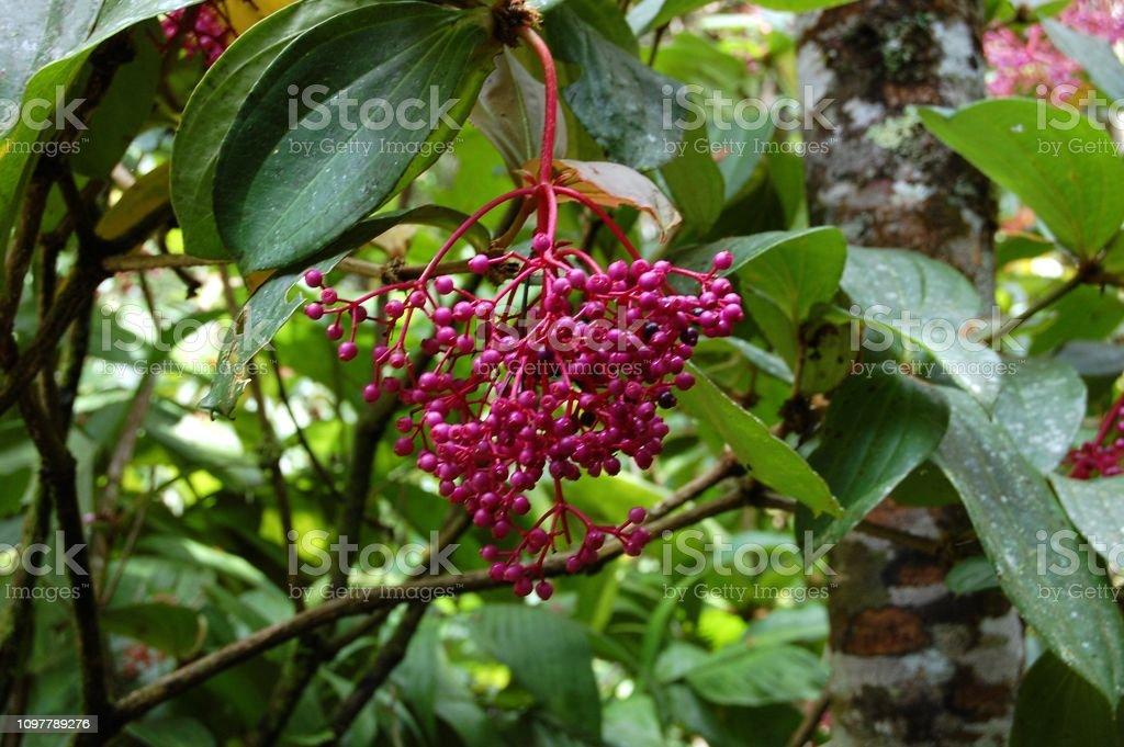 Medinilla flowering plant at Mt. Kinabalu National Park, Sabah, Malaysia stock photo