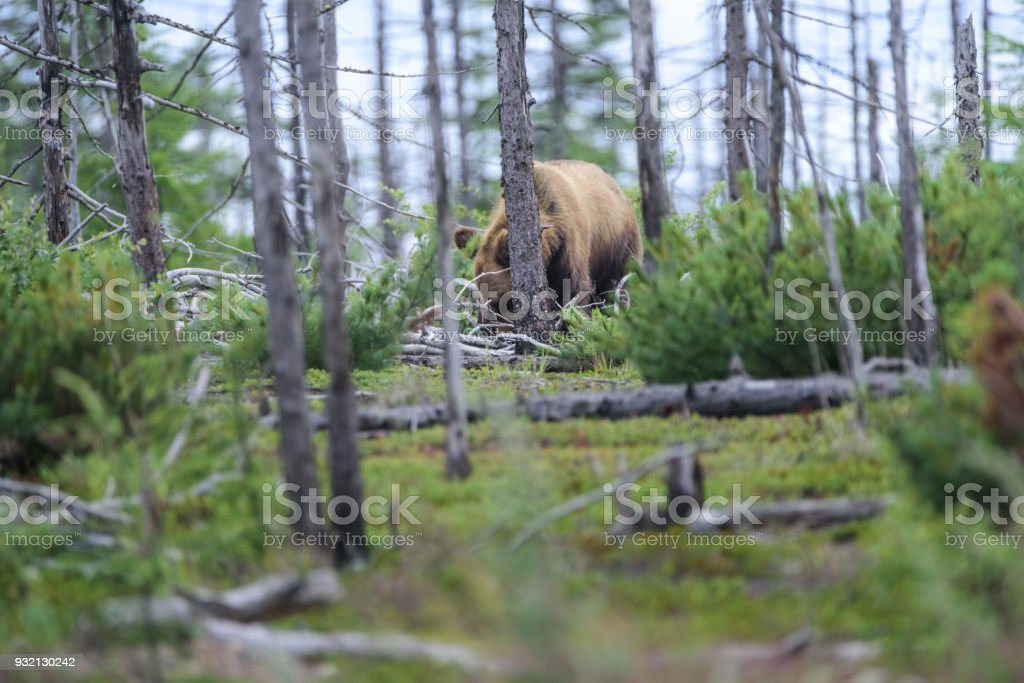 A meditative bear against the background of the burnt tundra, Sakhalin Island, Russia. stock photo