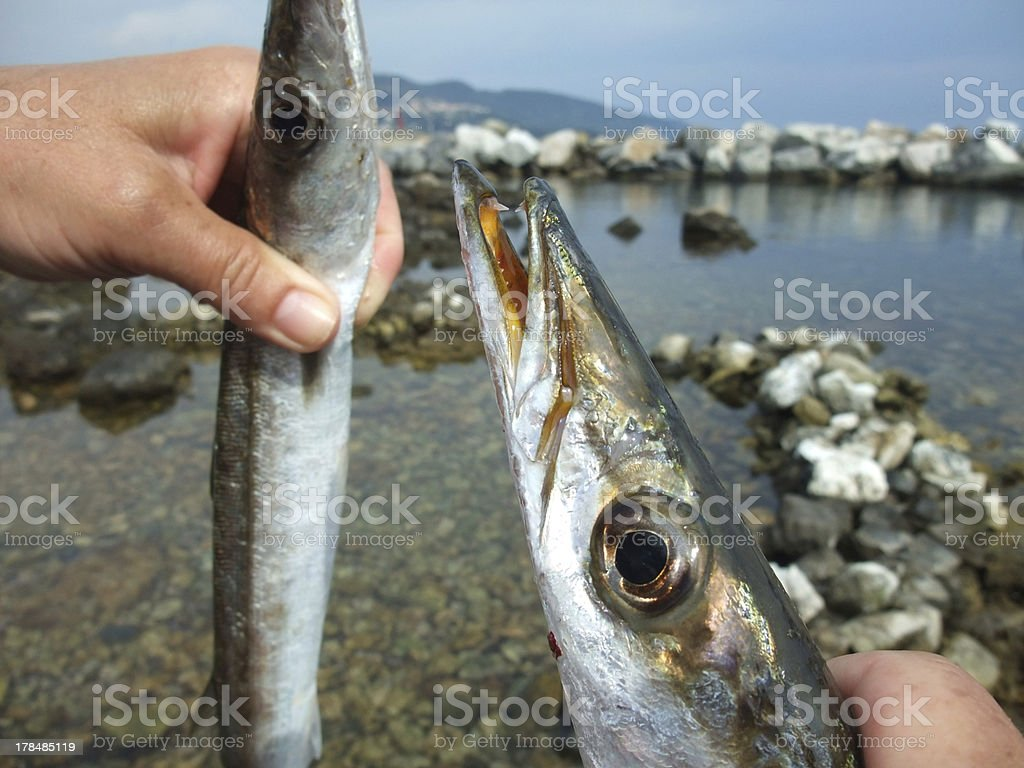 mediterranean barracuda royalty-free stock photo