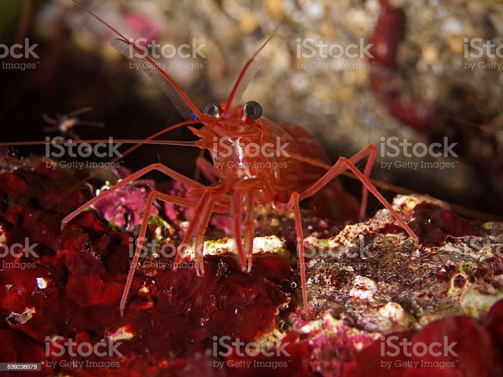 Mediterranean cleaner shrimp, Mittelmeer-Putzergarnele (Lysmata seticaudata) royalty-free stock photo