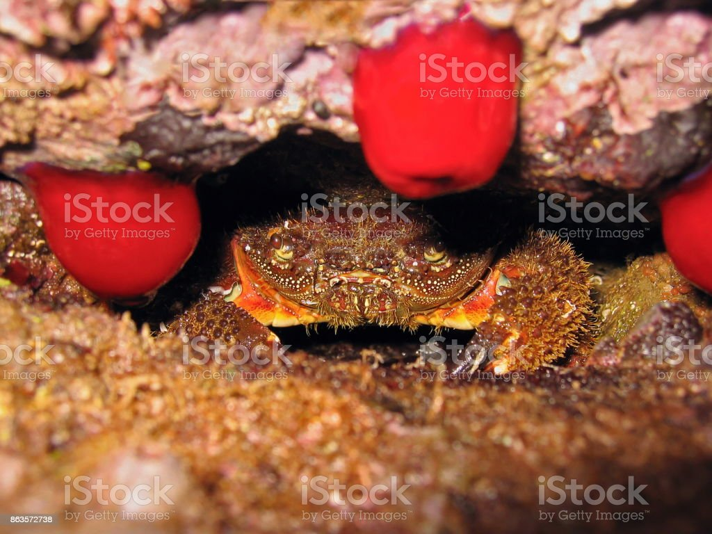 Crabe méditerranéenne - Photo