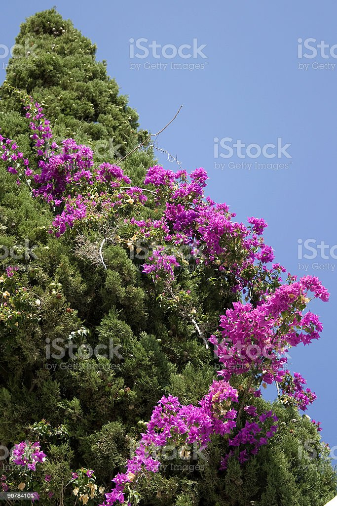 Mediterranean Cypress and Bougainvillea royalty-free stock photo