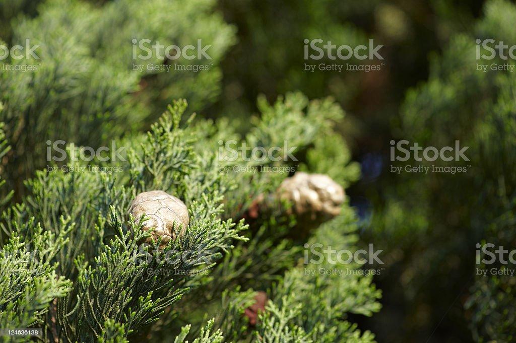 Mediterranean Cypress royalty-free stock photo