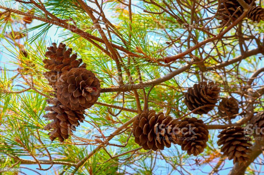 Mediterranean evergreen pine three with a cones. Colorful fir-tree...
