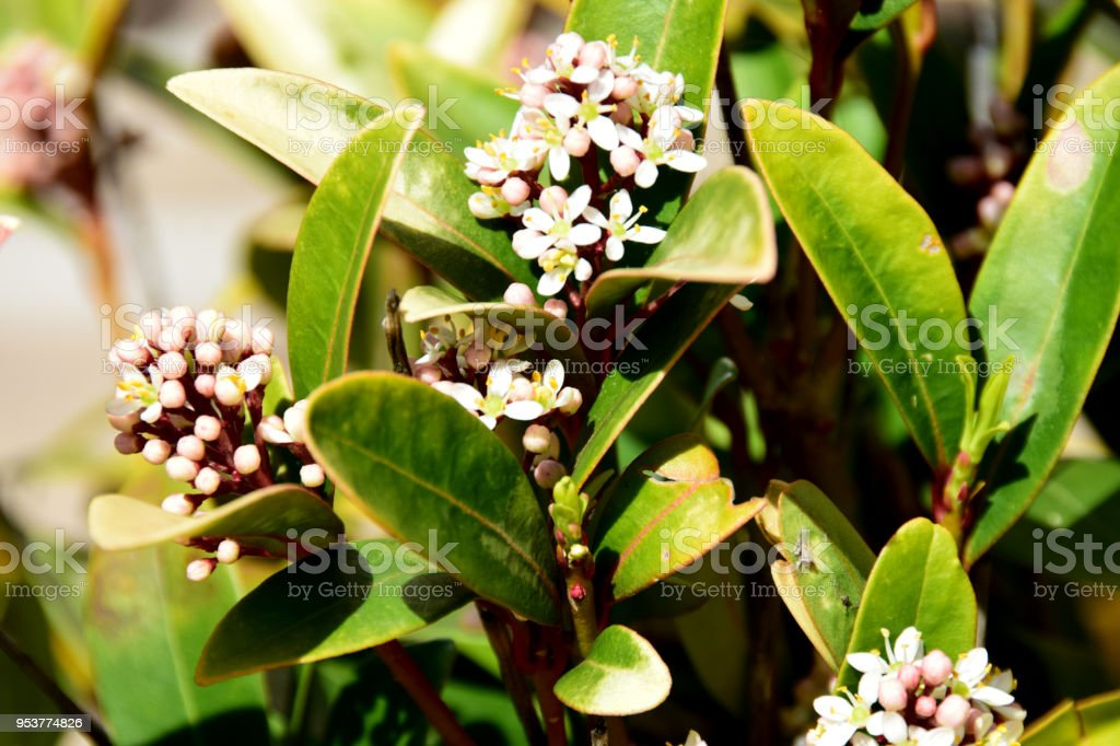Mediterranean Evergreen Shrub With Shiny Leaves And Small White
