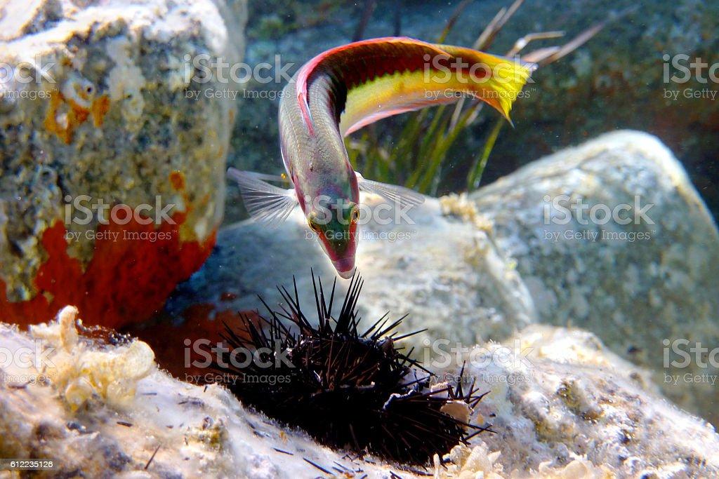 Mediterranean fish eat a sea urchin - foto de acervo