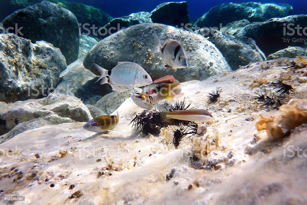 Mediterranean fish eat a sea urchin foto royalty-free
