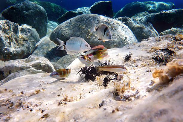 Mediterranean fish eat a sea urchin stock photo