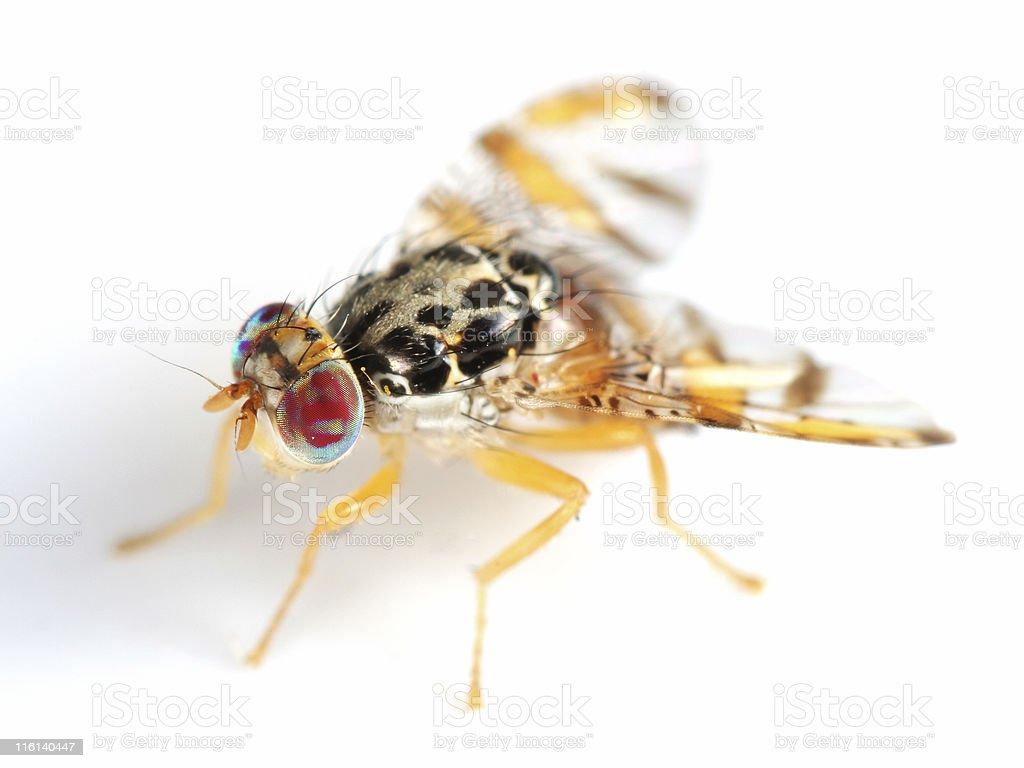 Mediterranean Fruit Fly stock photo