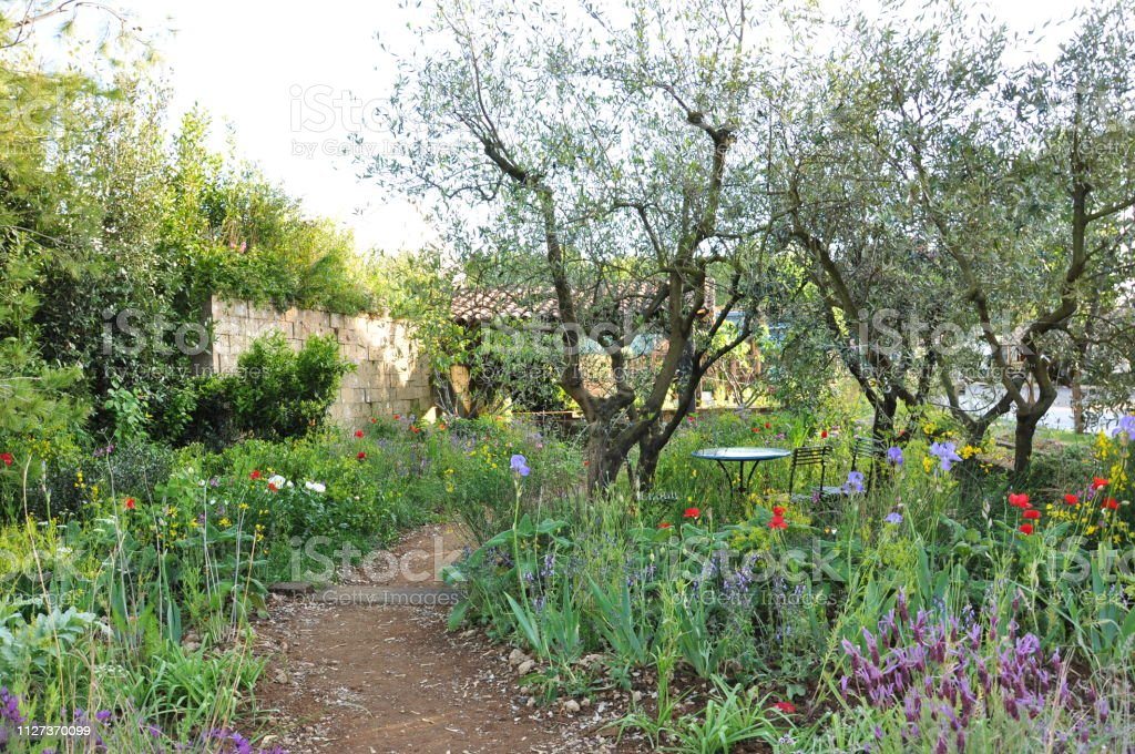 Natural planting of poppies, lavender, iris and olive trees in an...