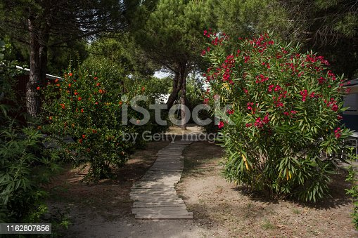 Oleander bushes and pine trees in garden