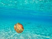 Mediterranean jellyfish underwater.