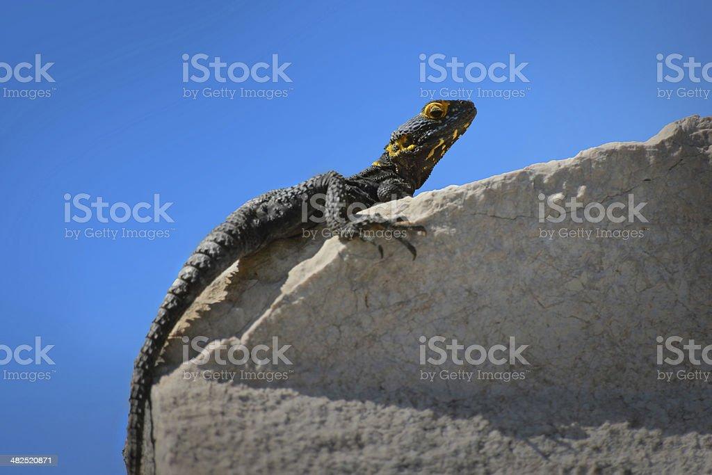 Mediterranean Lizard stock photo